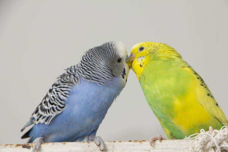 Поцелуй волнистых попугаев, маленькие птички коснулись клювом друг друга