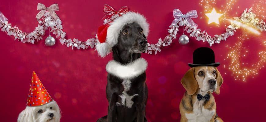 Собаки, одетые в рождественскую обстановку в шляпы-бабочки