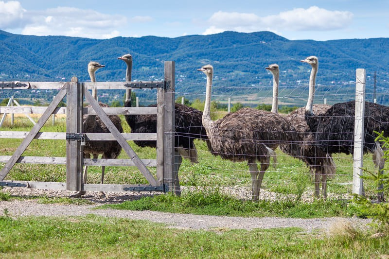 Забавный страус в контактном зоопарке